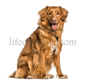 Nova Scotia Duck Tolling Retriever, Toller, sitting against white background
