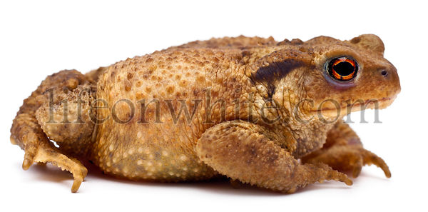 Common toad or European toad, Bufo bufo, in front of white background