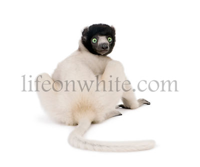 Young Crowned Sifaka, Propithecus Coronatus, 1 year old, sitting against white background, studio shot