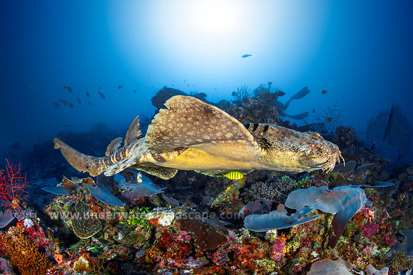 A wobbegong in the open water