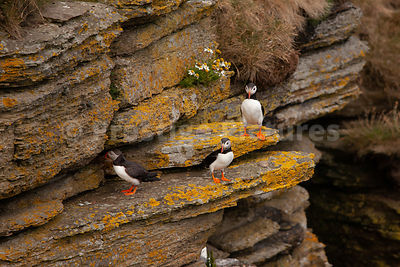 Three  puffins on ledge