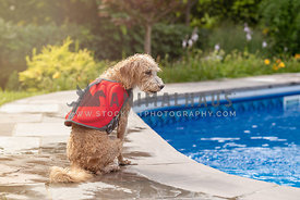 dog sitting by pool with life jacket