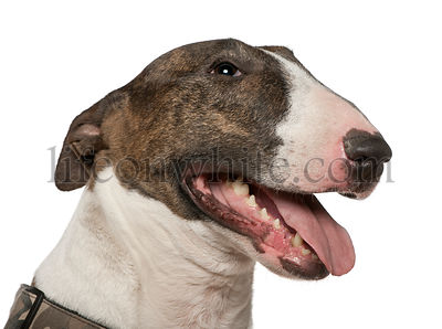 Close-up of Bull Terrier, 5 years old