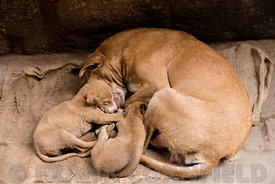 A street dog with two puppies sleeping in India.