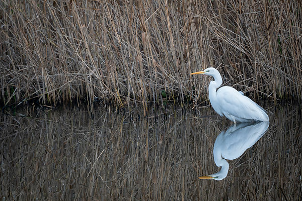 Great white egret near the reed edge of a river