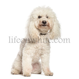 Poodle sitting in front of white background