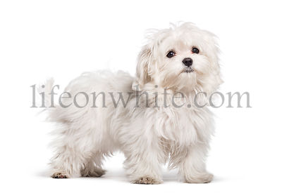 Maltese dog, 4 months old, in front of white background