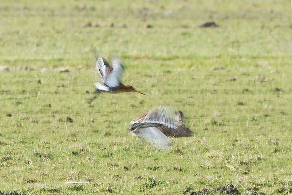 High speed hare and godwit