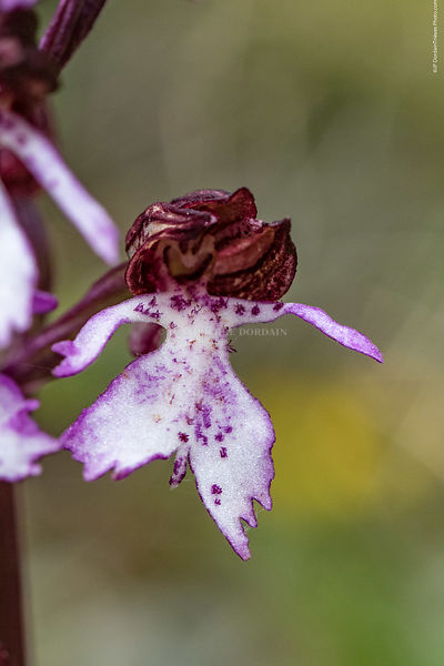 orchis_pourpre-61