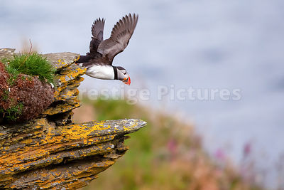 Puffin flying off ledge