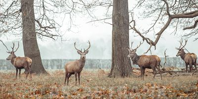 Stags in forest