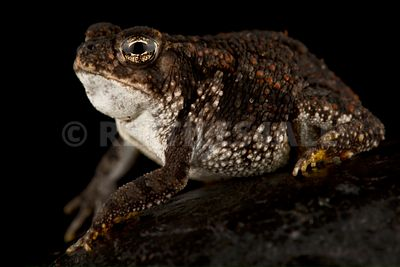 Oak toad (Anaxyrus quercicus)