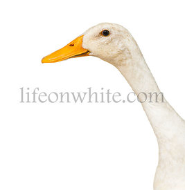 Close-up on a Duck isolated on white