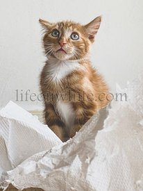 Guilty Ginger Kitten, mixed-breed cat, playing with soft white paper