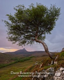 Image - Lone tree and Stac Pollaidh, Inverpolly, Wester Ross, Highland, Scotland