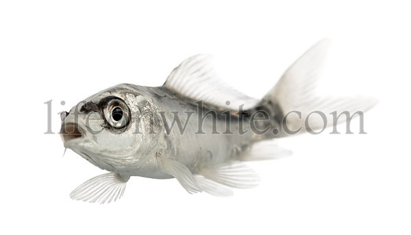 grey koi swimming mouth open isolated on white