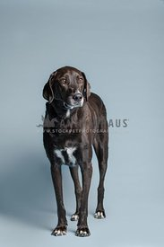 large dark brown hound mix standing and looking away