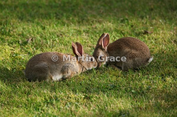 Two young European Rabbit siblings (Oryctolagus cuniculus) (Lepus cuniculus) on a garden lawn, Lyth Valley, Lake District Nat...