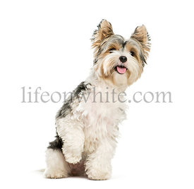 Biewer Yorkshire Terrier, 3 years old, sitting in front of white background