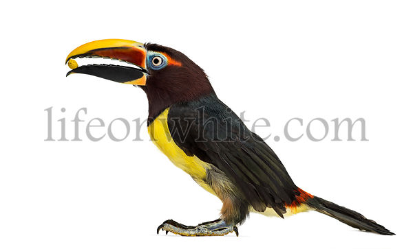 Green aracari eating isolated on white