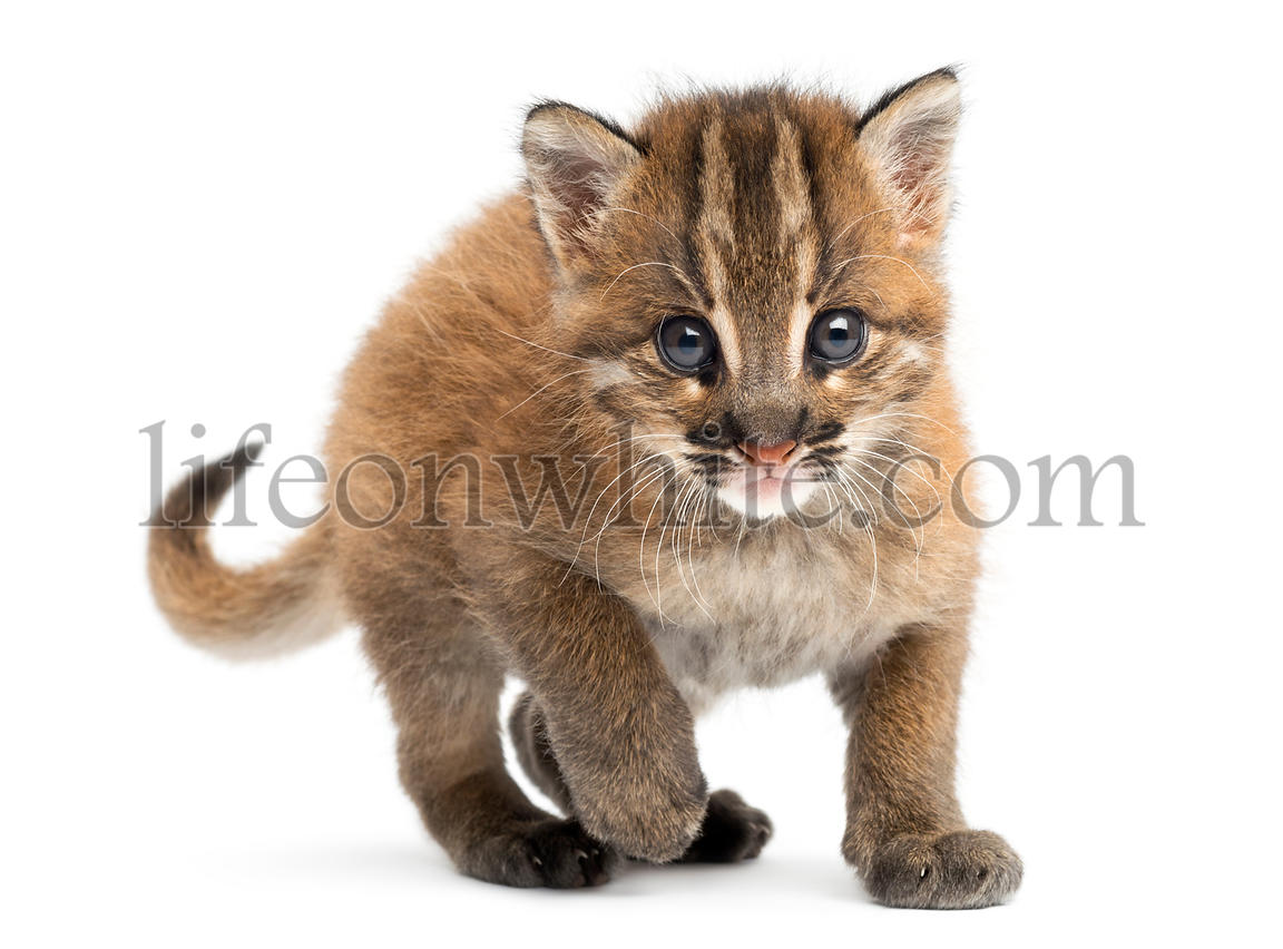 Young Asian golden cat facing, looking at the camera, Pardofelis temminckii, 4 weeks old