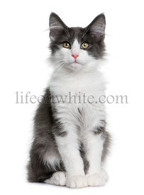 Norwegian Forest Cat kitten (4 months old)