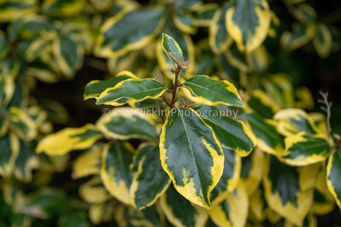 Gilt Edge shrub