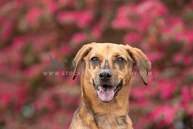head shot of smiling shepherd mix in front of pink flowers