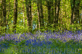 Spring bluebells in sunshine growing in a woodland setting in Scotland.