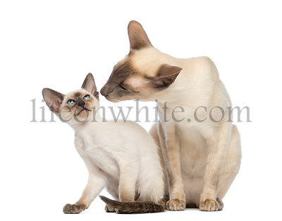 Oriental Shorthair father sitting with its kitten, 9 weeks old, against white background