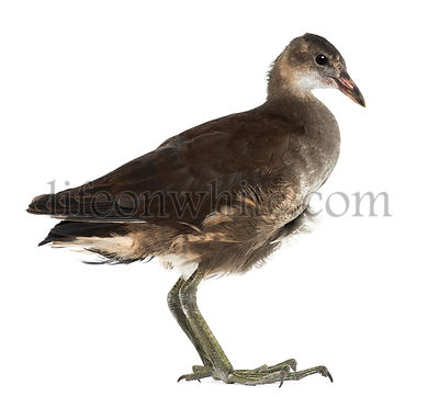Common Moorhen, Gallinula chloropus, also known as the \'swamp chicken\' against white background