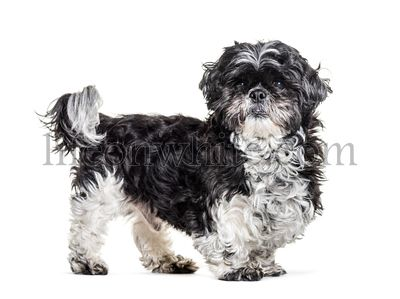 Shih tzu standing, isolated on white