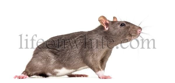 Rat , 6 months old, standing against white background