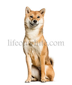 Shiba Inu sitting against white background