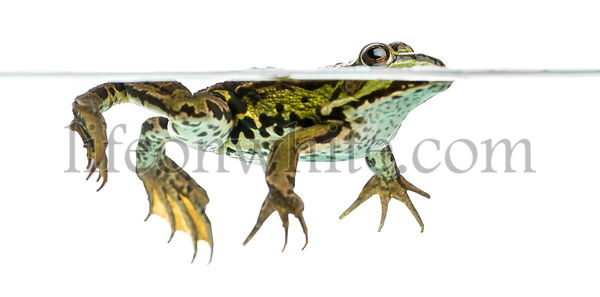 Side view of an Edible Frog swimming at the surface of the water, Pelophylax kl. esculentus, isolated on white