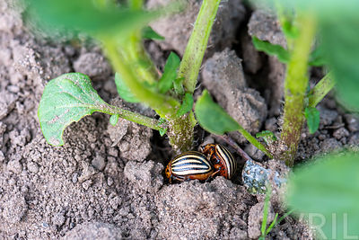 Colorado beetle (Leptinotarsa decemlineata), on a potato leaf, vegetable garden, Moselle, France ∞ Doryphore (Leptinotarsa de...