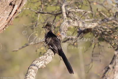 Levaillants Cuckoo