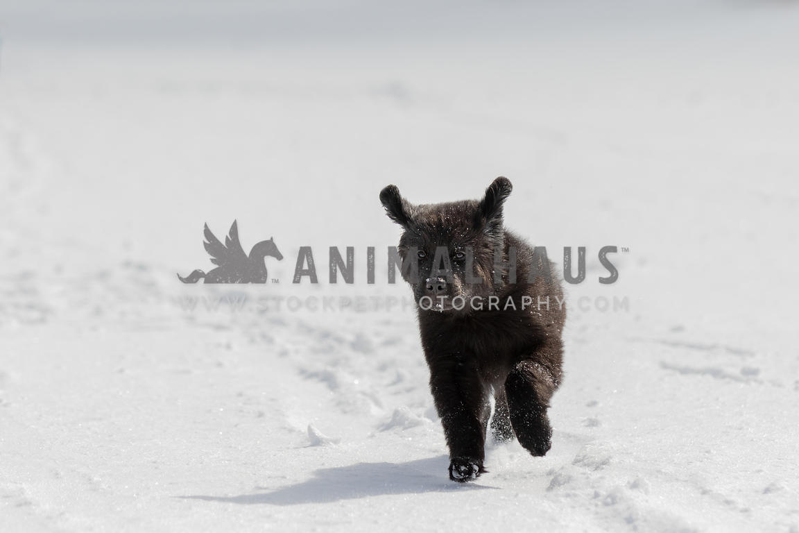 A running newfoundland puppy in the snow