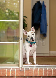 A pitbull waiting at the front door