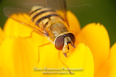 Image - Hoverfly standing on a yellow marigold flower, Epistrophe grossulariae