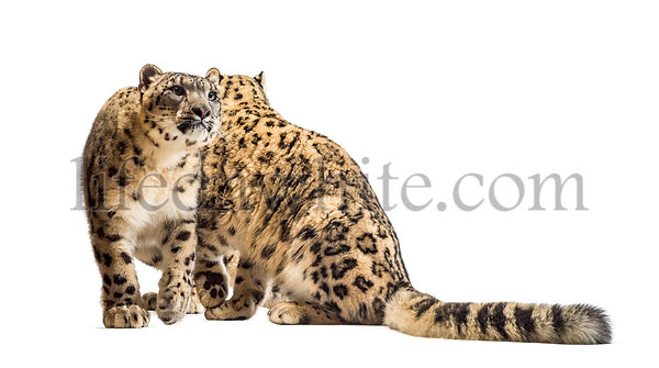 Snow leopards, Panthera uncia, also known as the ounce sitting against white background