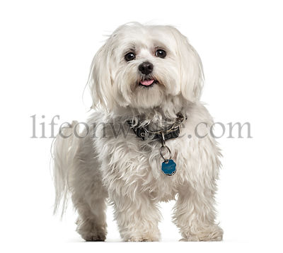 Maltese, 1 year old, in front of white background