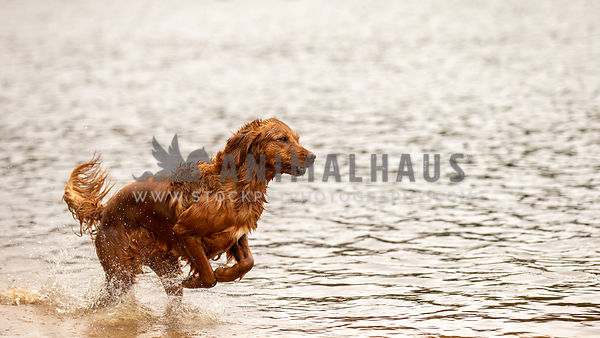 A golden retriever running through shallow water