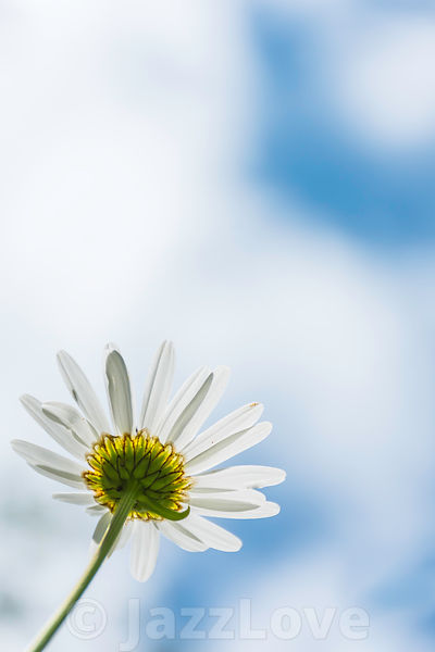 Chamomile flower and  blurred blue sky with clouds in background.