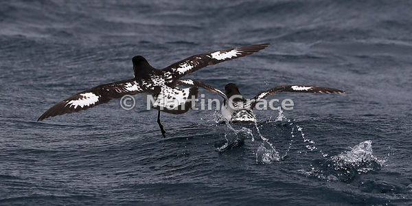 Collision averted! 2:1 format image of two Cape Petrels narrowly avoiding a mid-air collision (Daption capense), Kaikoura, Ca...