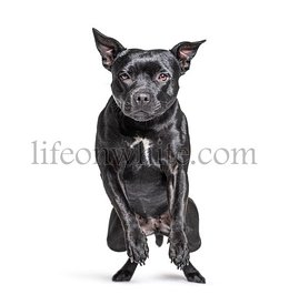 Black American Staffordshire terrier isolated on white