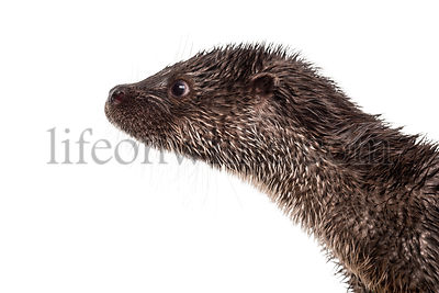 Close-up of an European otter\'s profile, Lutra lutra, isolated on white