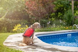 dog sitting by pool with lifejacket on