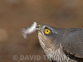 Eurasian Sparrowhawk Accipiter nisus female  prey North Norfolk