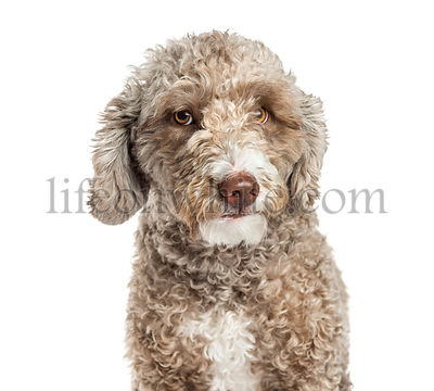 Close-up of a Spanish Water Dog, 1.5 years old, isolated on white